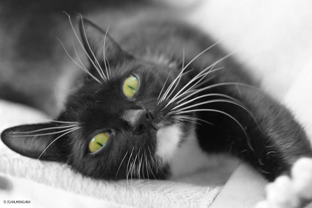 Colorkey Katzenfoto mit Quietschie