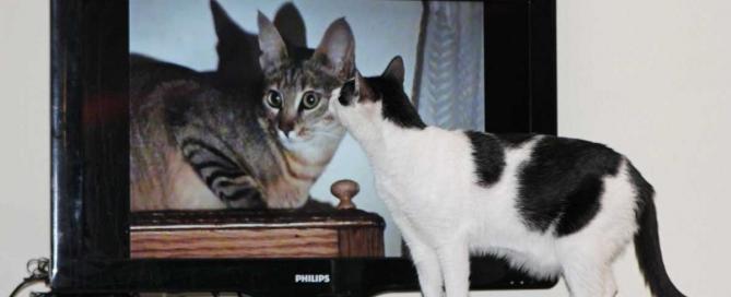 Yuki vor dem Fernseher guckt Serien mit Katzen